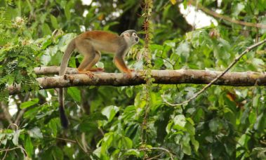 Spider monkey, Cuyabeno, Ecuador, Amazon
