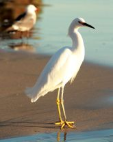 Snowy egret wants to know what you're so worried about.