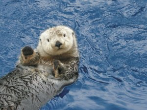 I wish I had my own pictures, but I don't have a lens that good. http://carinbondar.com/2010/11/this-weeks-cool-biology-job-sea-otter-population-ecologist/