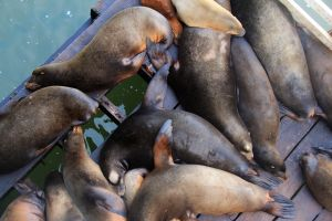 Puddles of sea lions under the wharf