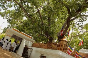 Sacred bodhi tree