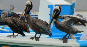 Ecuadorian pelicans, 2012