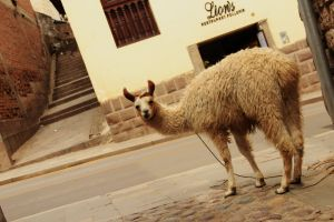 llama, Cuzco, backpacking