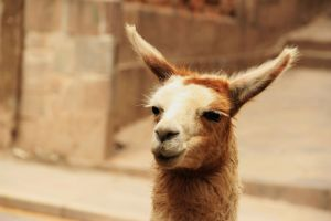 Cuzco street llama says to take it easy with your teeth