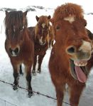 Iceland ponies, travel, photos