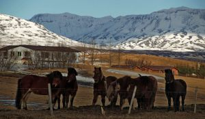 Iceland ponies travel