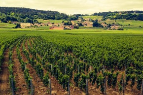 The famous vineyards of Burgundy, every field a distinct vintage.