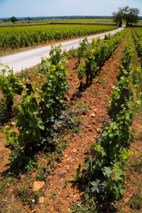 Burgundy vineyard 4776