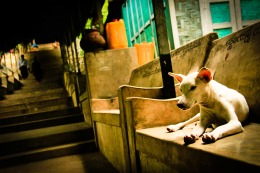 Buddhist dogs of Mandalay, Myanmar