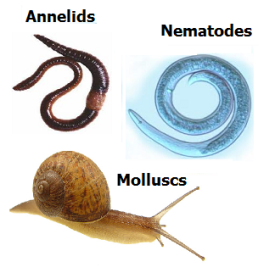 Annelids nematodes and molluscs