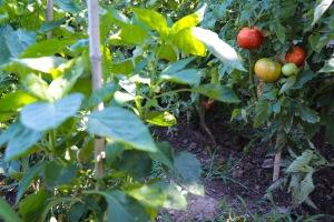 Garden tomato goodness