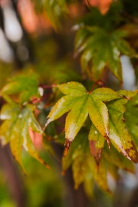 japanese-maple-leaves-outside-my-window