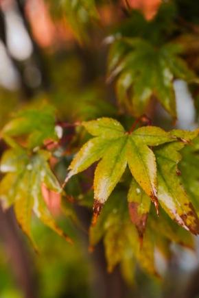 japanese-maple-leaves-outside-my-window