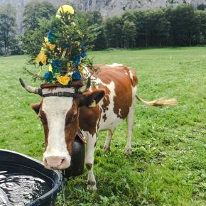 swiss-cows-ed