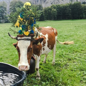 swiss-cows-ed