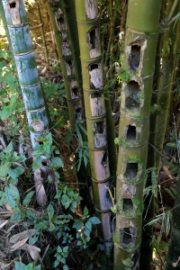 bamboo-after-they-get-the-edible-insects-out-sapa
