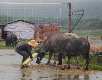 feeding-the-buffalo