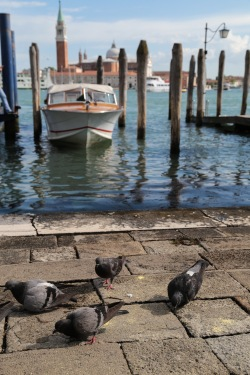 pigeons in Venice