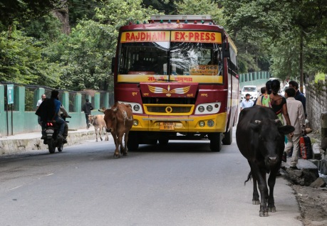 India bus in Manali pushing a cow out of the way